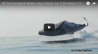 40 ton whale filmed jumping fully out of the water like it s some kind of hotshot dolphin or something