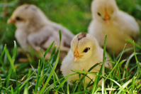 Banners and Alerts and 3 Chicks on Green Grass Free Stock Photo