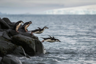 Climate Change is Decimating Antarctic Chinstrap Penguins Time