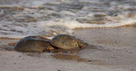 Horseshoe crabs, the plentiful, strange and ancient life form crawling beneath the Chesapeake waters, carry within them a highly-prized, copper-based, blue-colored blood that's used worldwide for testing vaccines and medical devices for toxins. (Dreamstime/Dreamstime/TNS)