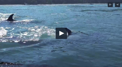 Paddleboarders surprised by a pod of orca whales hunting seals