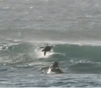 You ll never be as thrilled as this surfer who got wiped out by a dolphin
