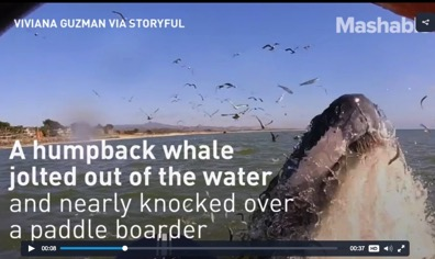 Banners and Alerts and Paddle boarding flutist has a close run in with a humpback whale