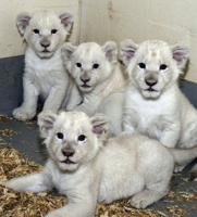 Rare white lion cubs are the first miracle of the holiday season