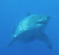 This monster of a shark will make you never want to swim again
